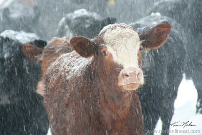 Winter Cow - Photography - Photography