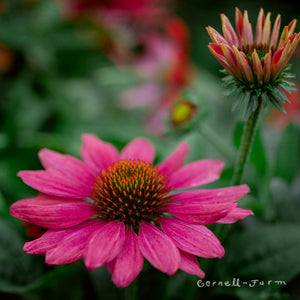 Echinacea purpurea Sombrero Adobe Orange at Cornell Farm