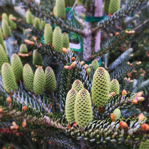 Silver Korean Fir at Cornell Farm