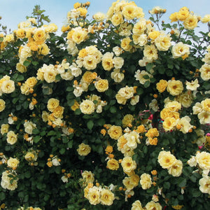 Rose 'Skys the Limit Climber'