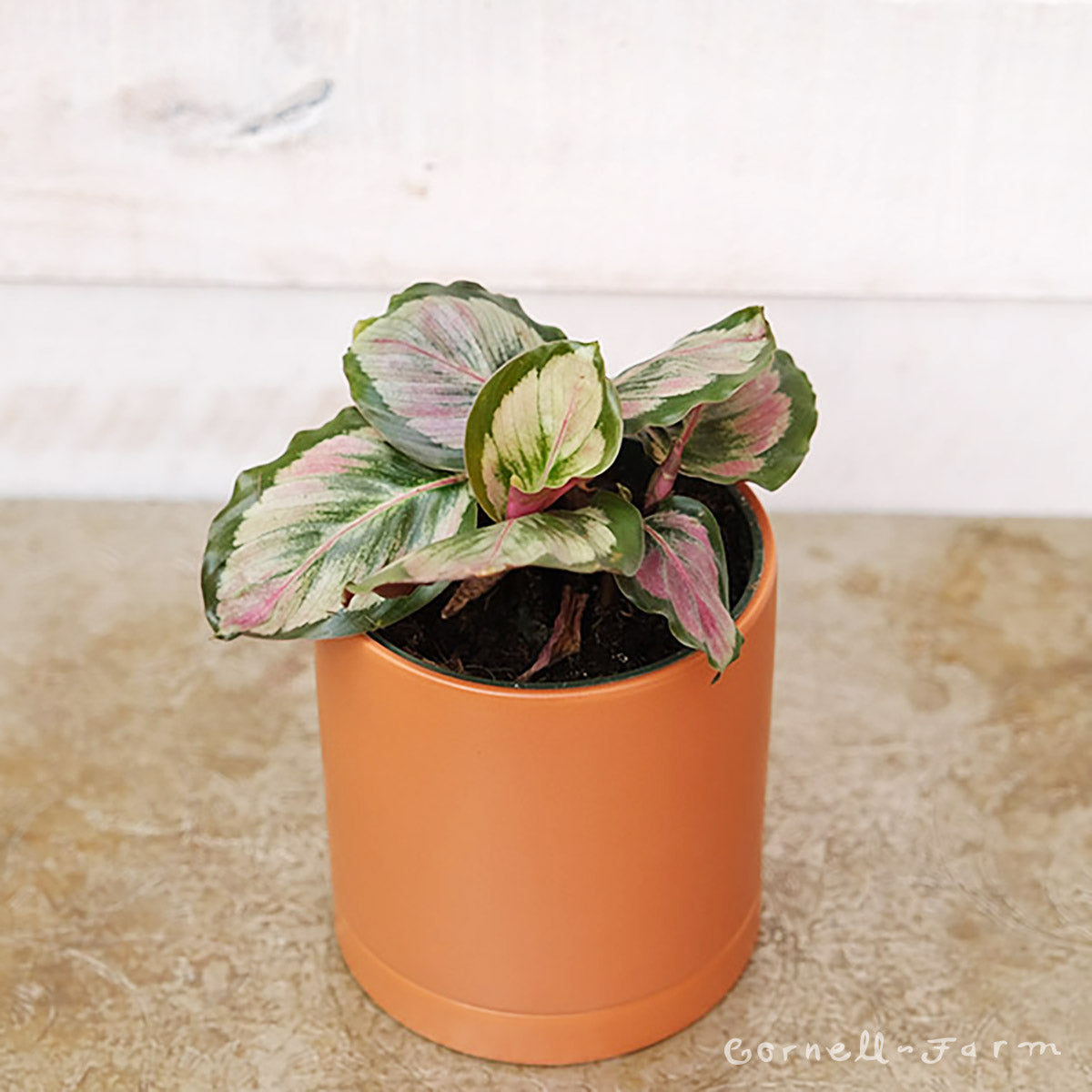 Calathea roseopicta 4in