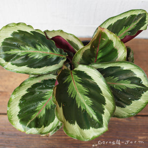 Calathea 4in Medallion