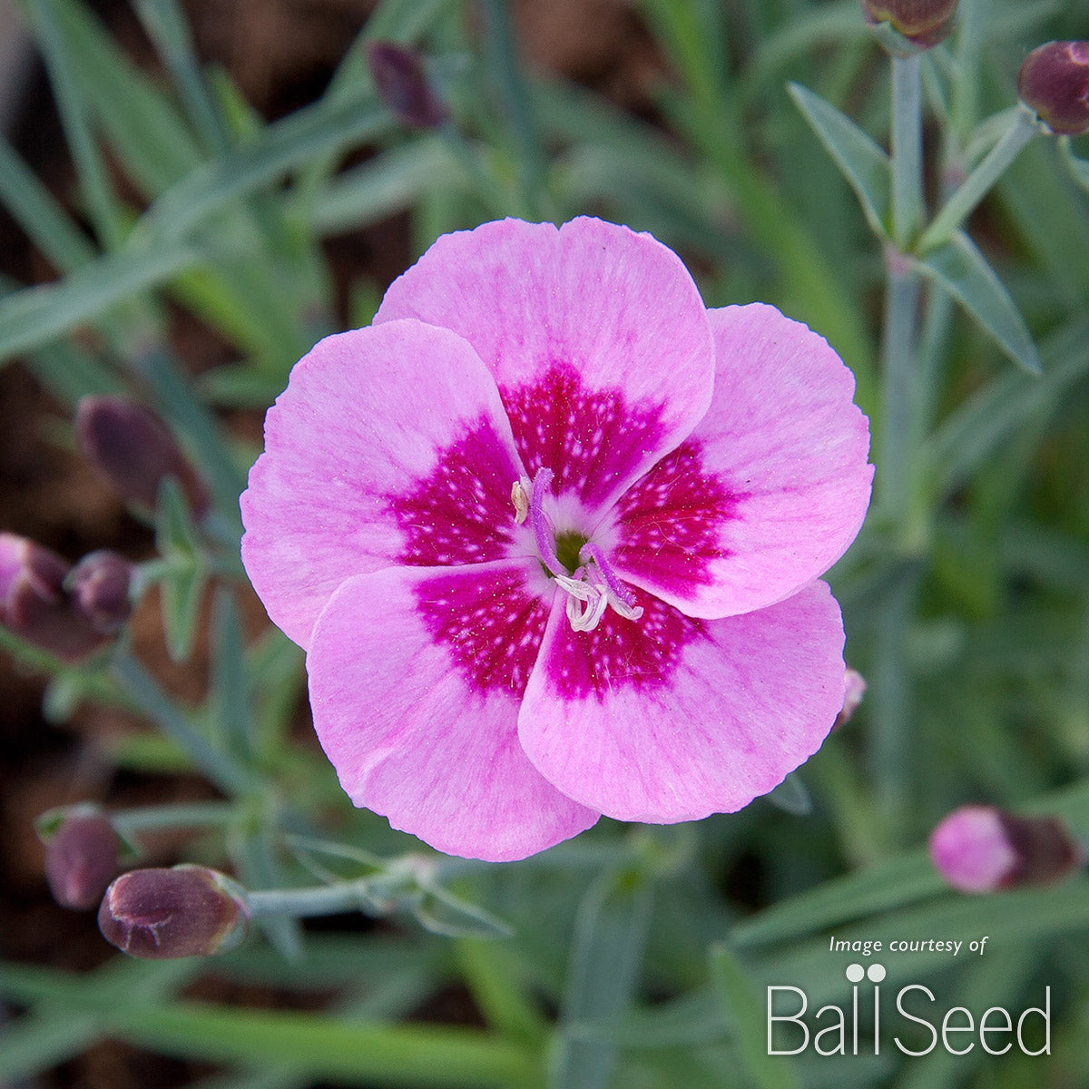 Dianthus Light Pink+Eye Everlast 4.25""