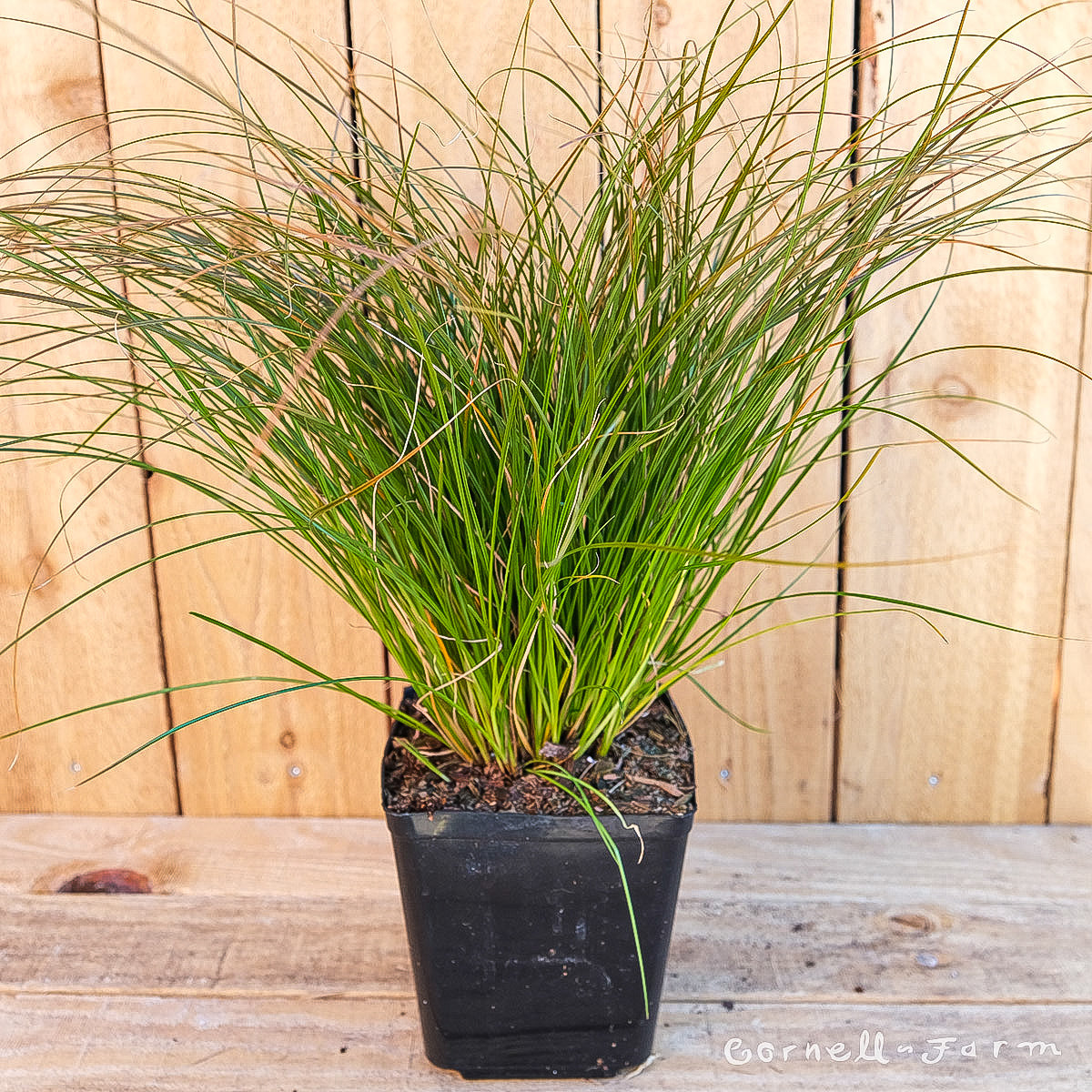 Carex testacea 1gal Orange Sedge