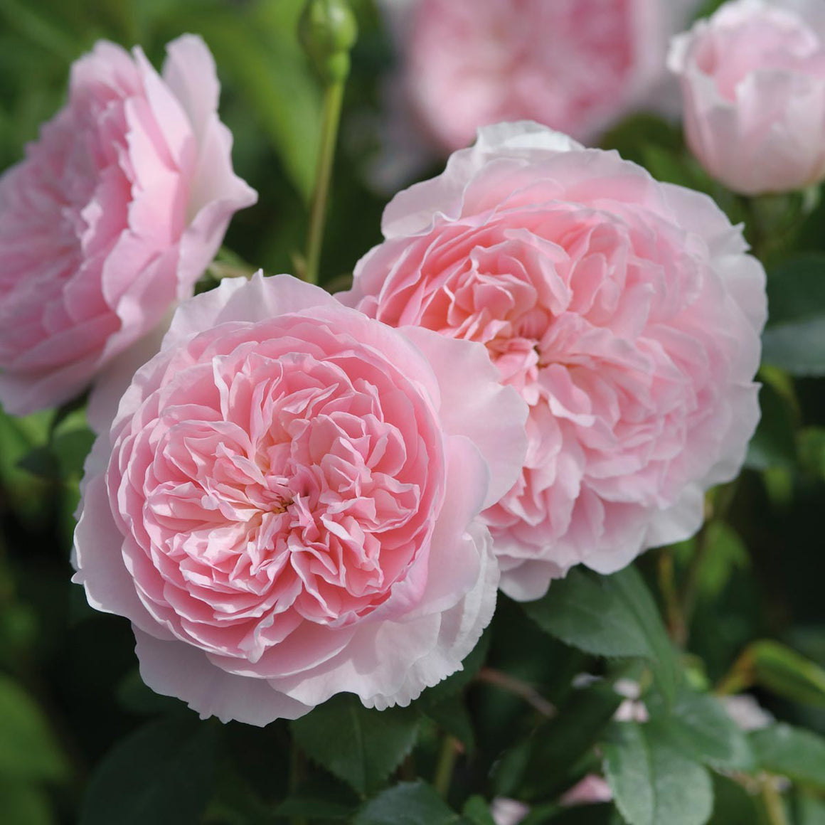 Rose 'Wisley 2008'