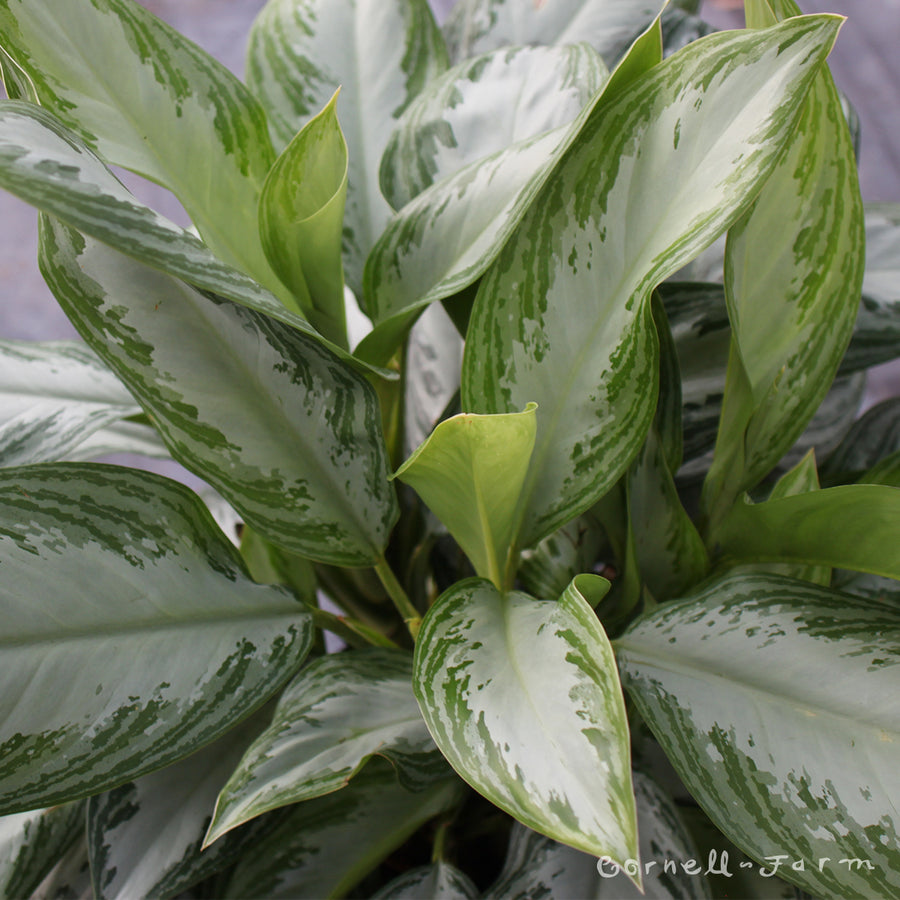 Aglaonema 'Emerald Bay' 10""