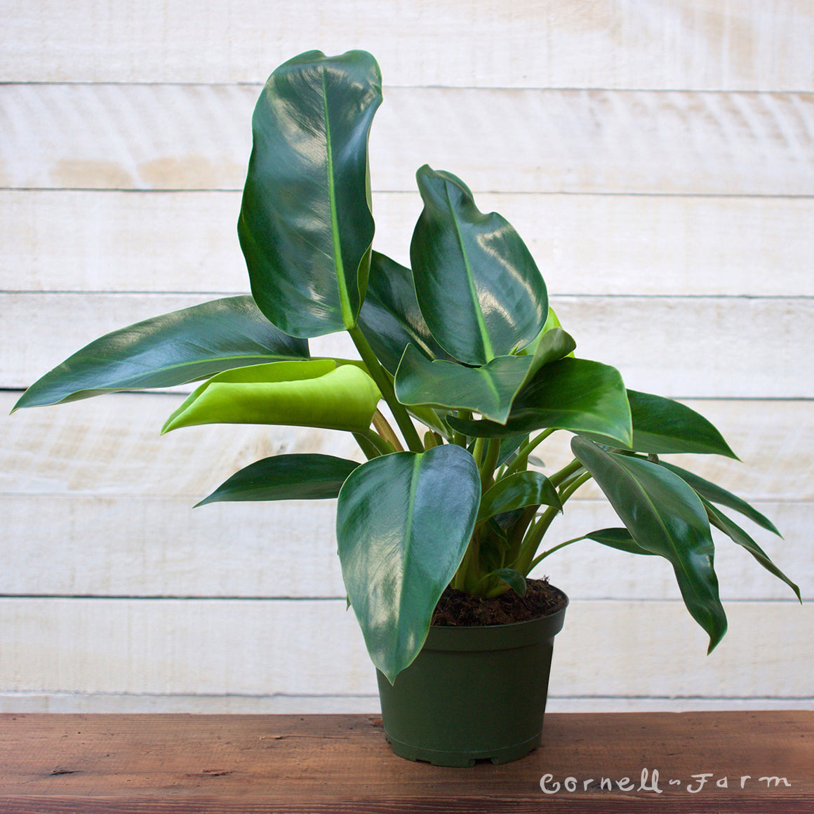 Philodendron 'Green Congo' (Philodendron 'Green Congo') 6in
