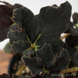 Begonia 4in Midnight