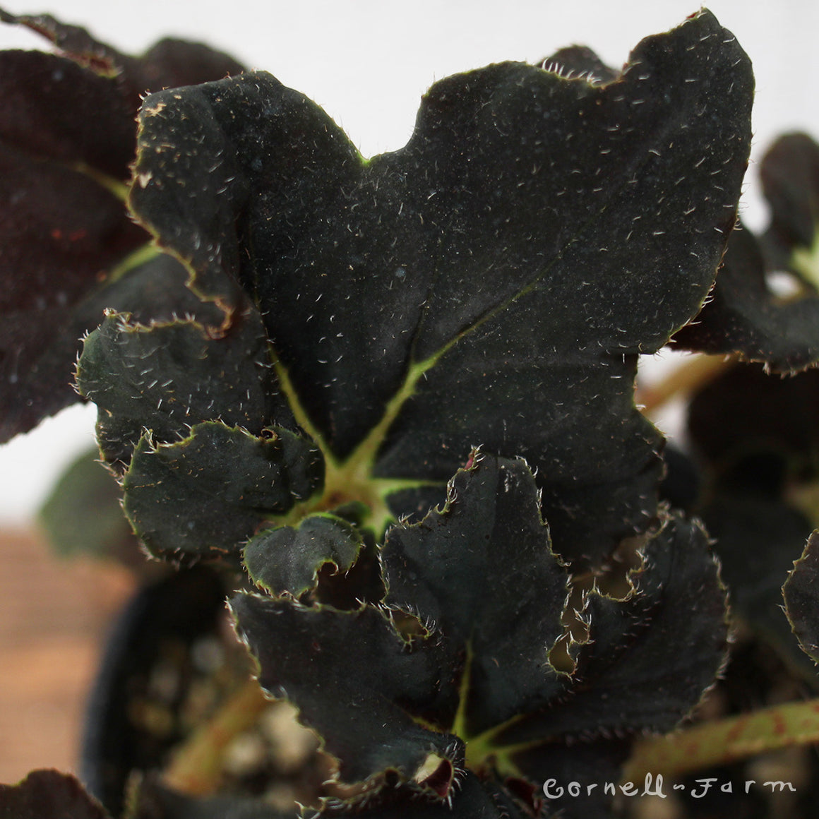 Begonia Midnight 4""