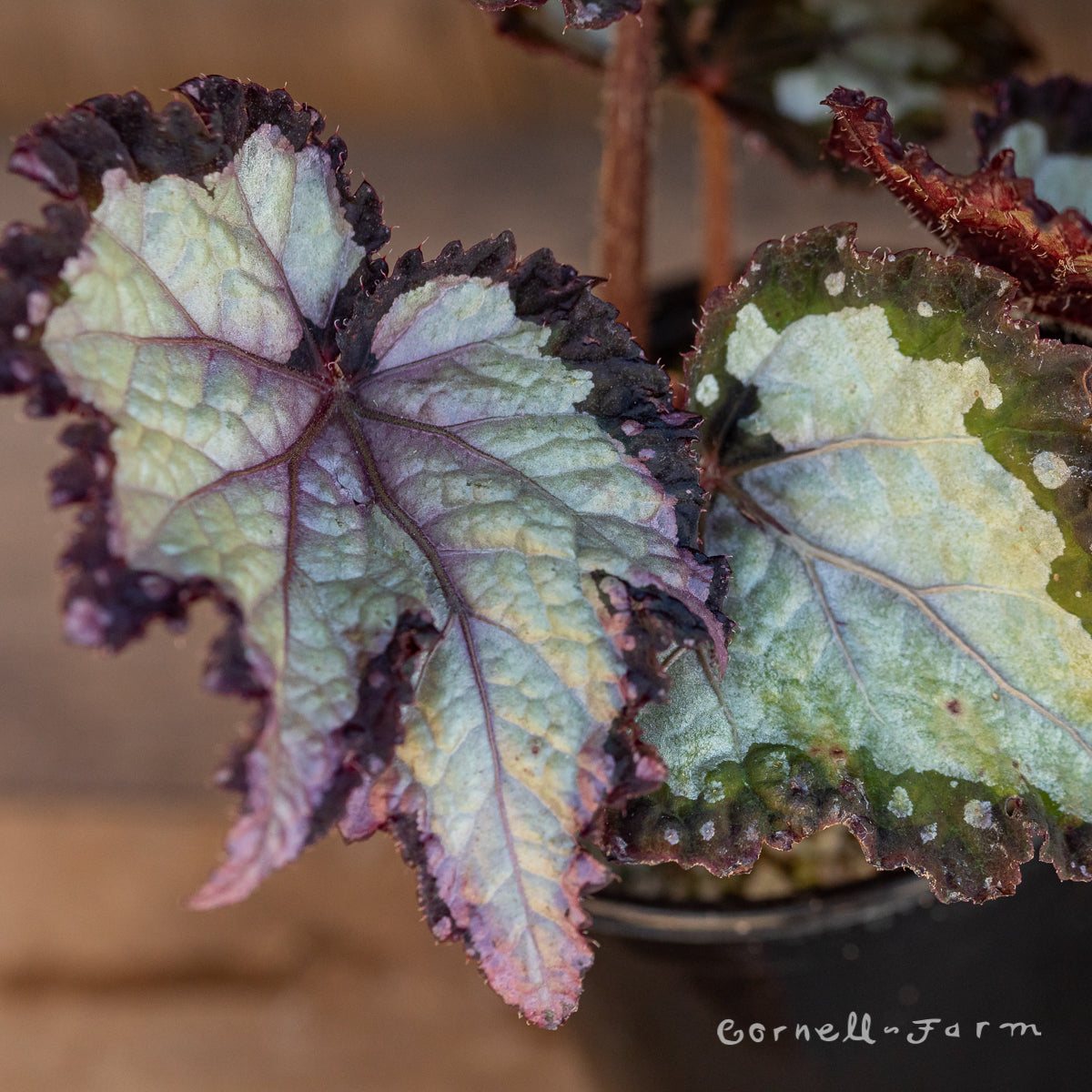 Begonia rex 4in Royal Crown