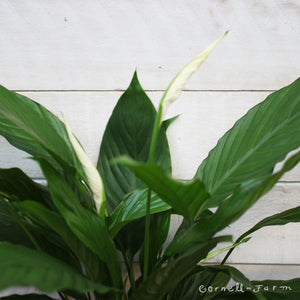 Spathiphyllum 'Peace Lily' 6""