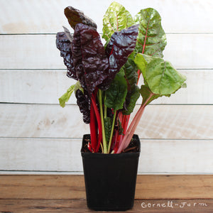 Swiss Chard Bright Lights 1 gal