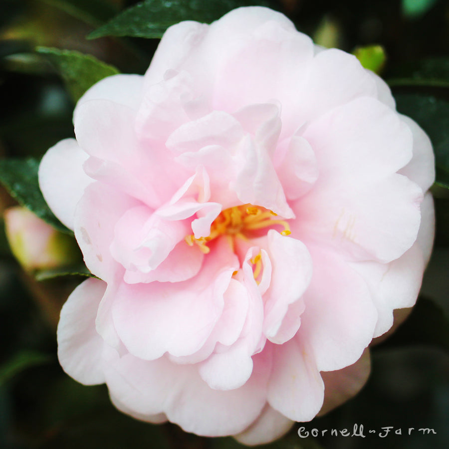 Camellia s. Jean May 5 gal