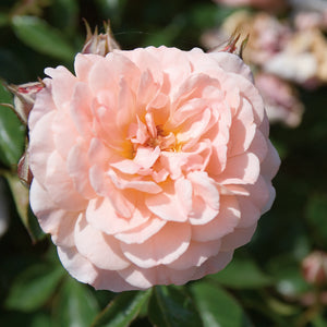 PREORDER Rose Drift Apricot