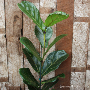 Ficus lyrata 'Fiddle Leaf Fig' 8''