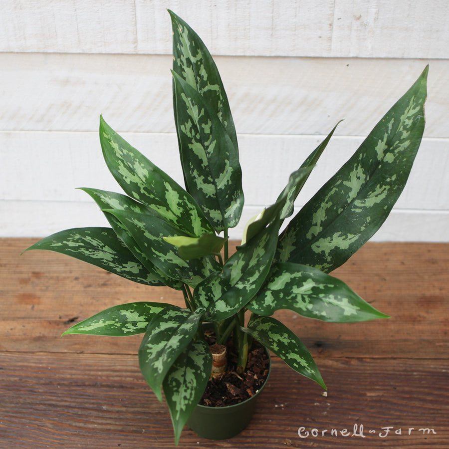 Aglaonema 'Maria' 4in