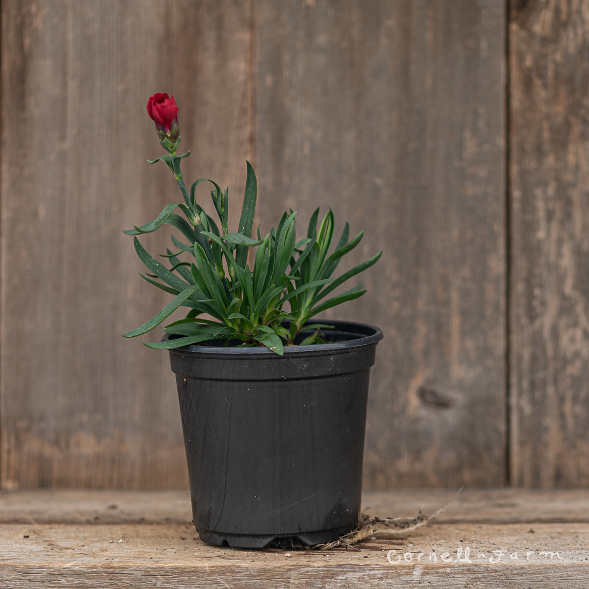 Dianthus Oscar Dark Red 4.25''