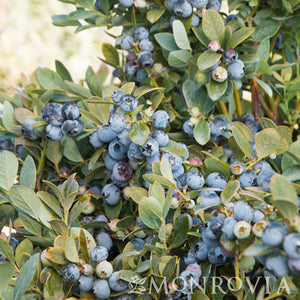 Blueberry Vaccinium Bountiful Blue 2 gal