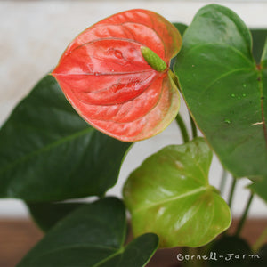 "Anthurium 'Peach Flowering' 2"" HOLIDAY"