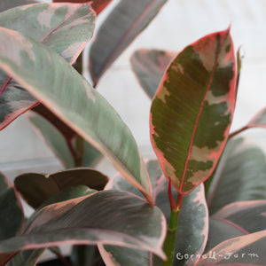 Ficus elastica 'Ruby Rubber Tree' 10""