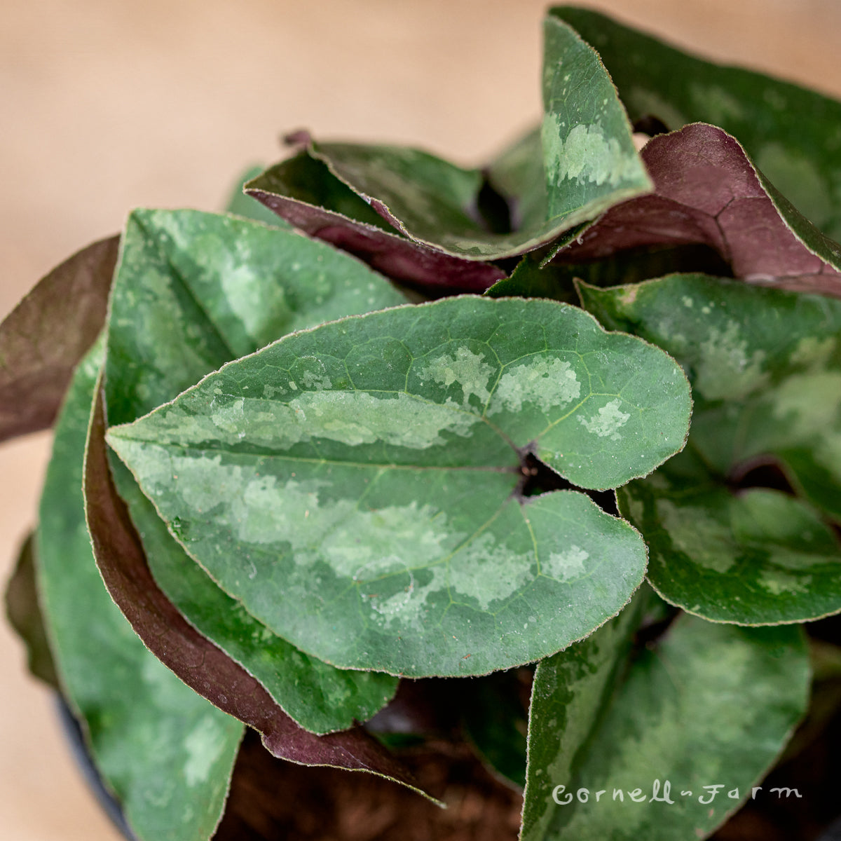 Asarum splendens Qrt