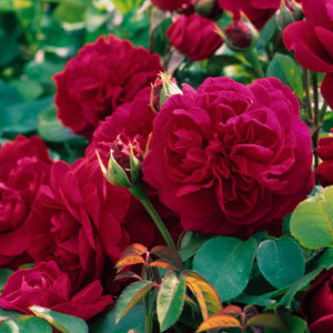 Rose 'Tess of the D'Urbervilles'
