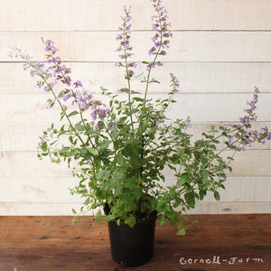 Nepeta r. Walker's Low 1 gal. Catmint