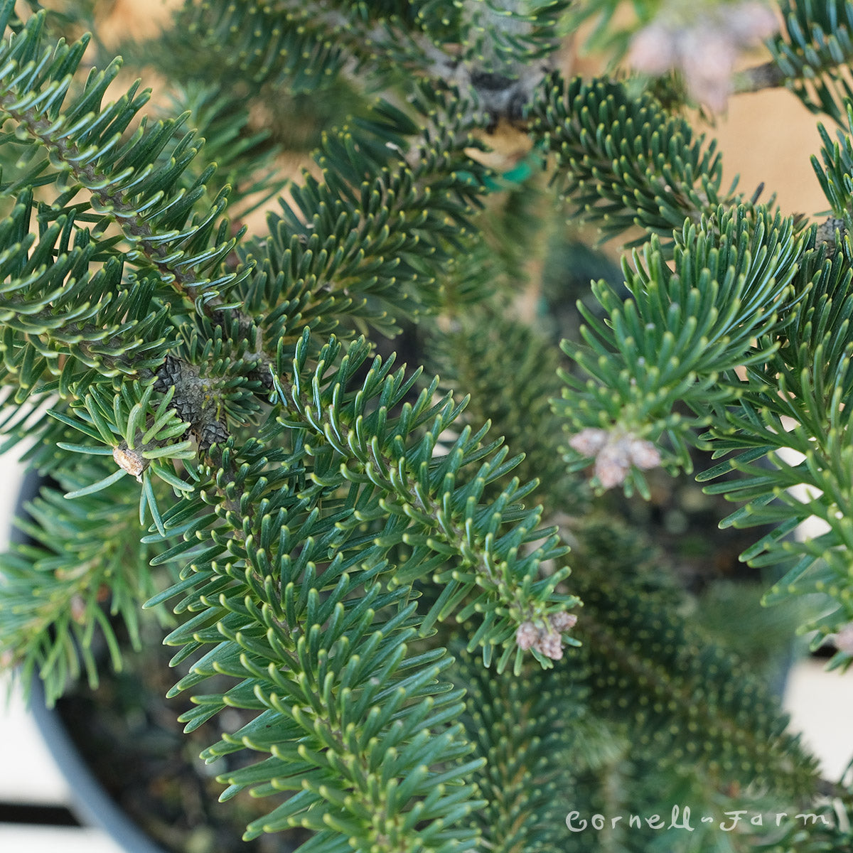 Abies cephalonica Meyer's Dwarf 3 gal  Greek Fir