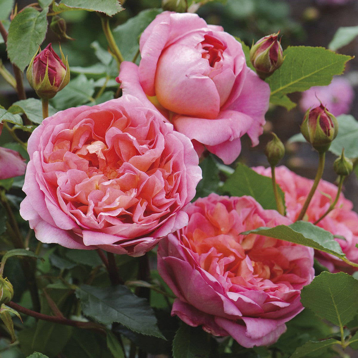 Rose Boscobel 5 gal David Austin