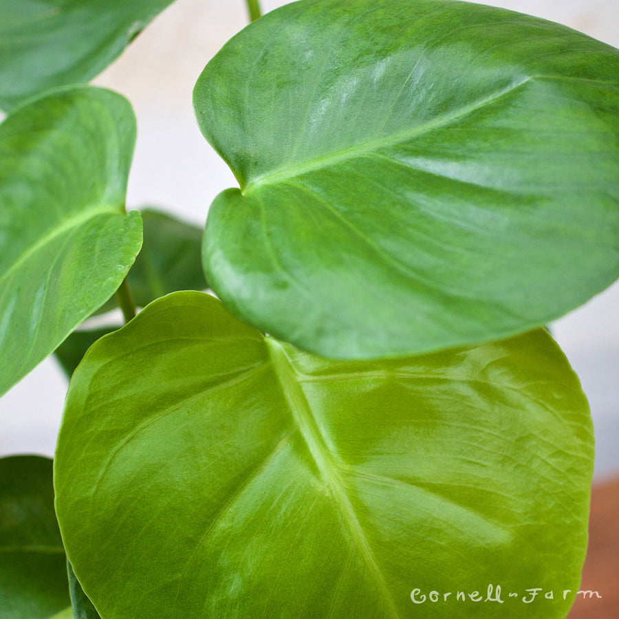 Split-leaf Philodendron (Monstera deliciosa)
