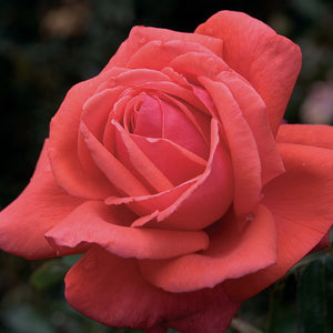 Rose 'Fragrant Cloud'