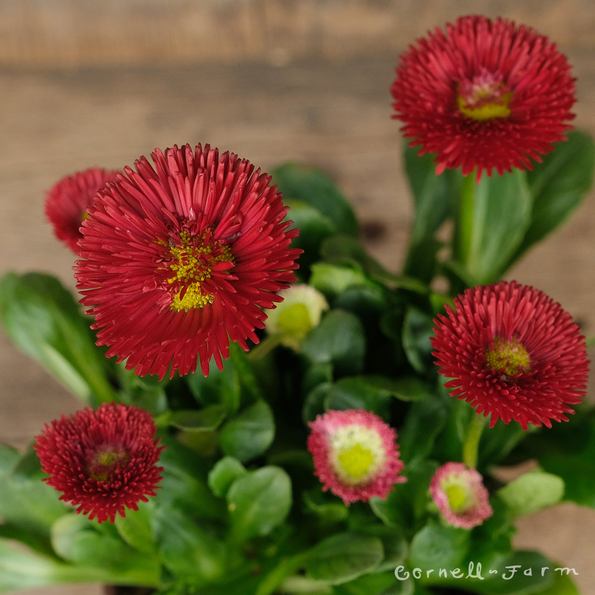 Bellis Pomponette Red 4in