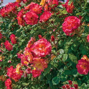 Rose 'Josephs Coat' Climber