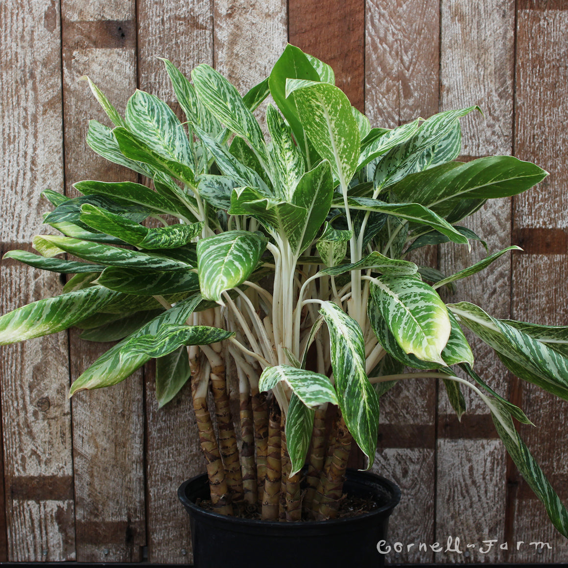Aglaonema 'Golden Madonna' 14""