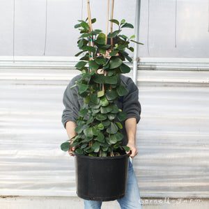 Ficus triangularis 14""
