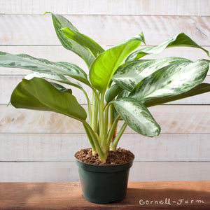 Chinese Evergreen 'Silver Bay' (Aglaonema 'Silver Bay') 6in