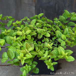 Oregano Golden 4''