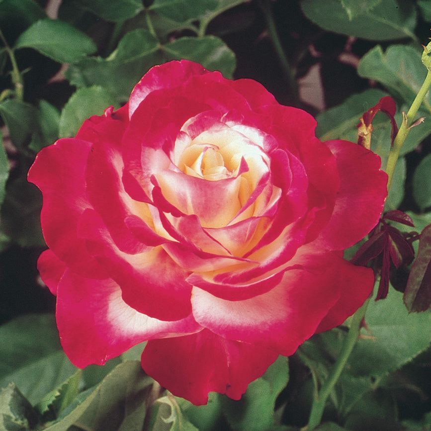 Rose 'Double Delight'