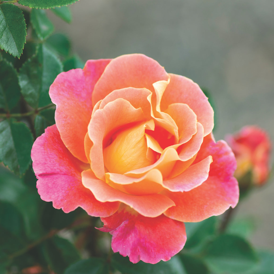 Rose 'Fruity Petals'