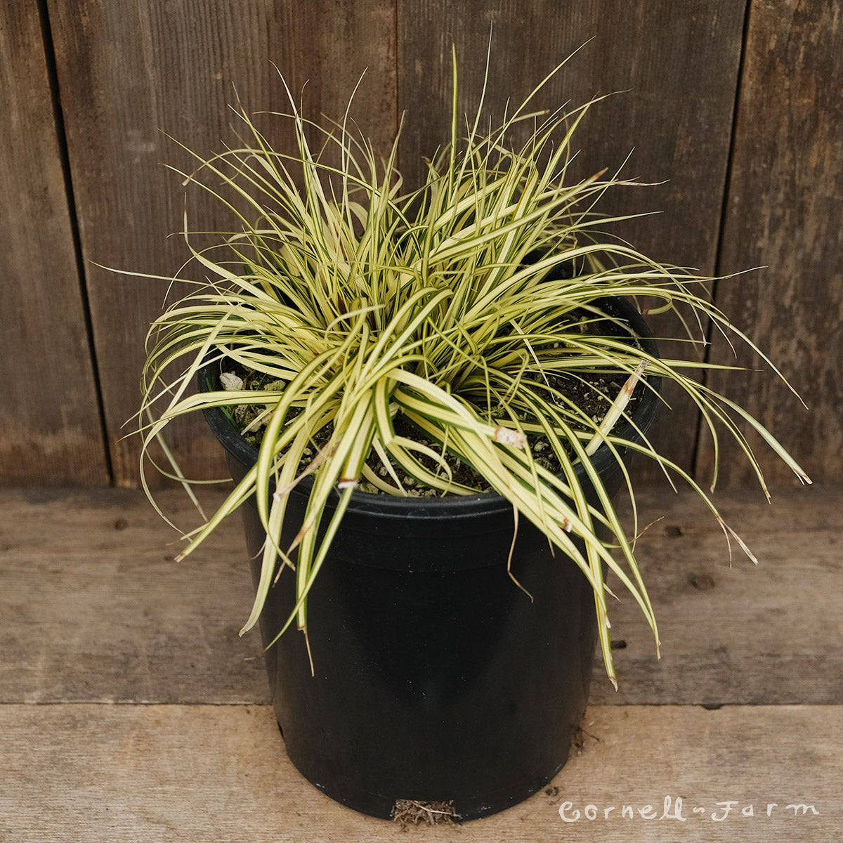 Carex osh Evergold 1 gal