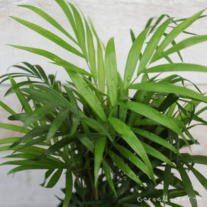 Chamaedorea elegans 4in Neanthe Bella/Parlor Palm
