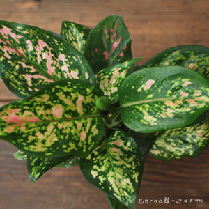 Aglaonema 'Wishes' 4""