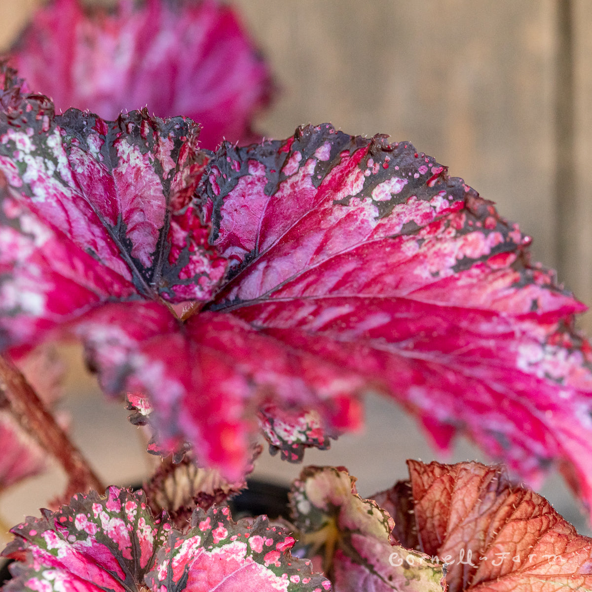Begonia rex 4in Jurassic Jr Berry Swirl
