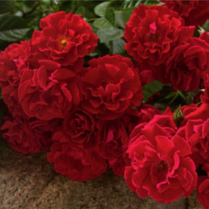 Rose 'Red Ribbons'