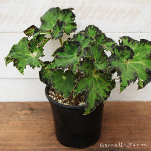 Begonia 'River Nile' 4""