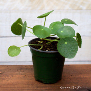 Friendship Plant (Pilea peperomioides)