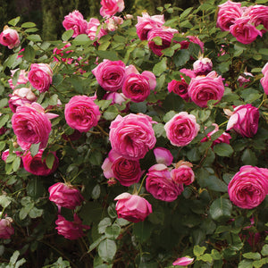 Rose 'Pretty In Pink Eden' Climber