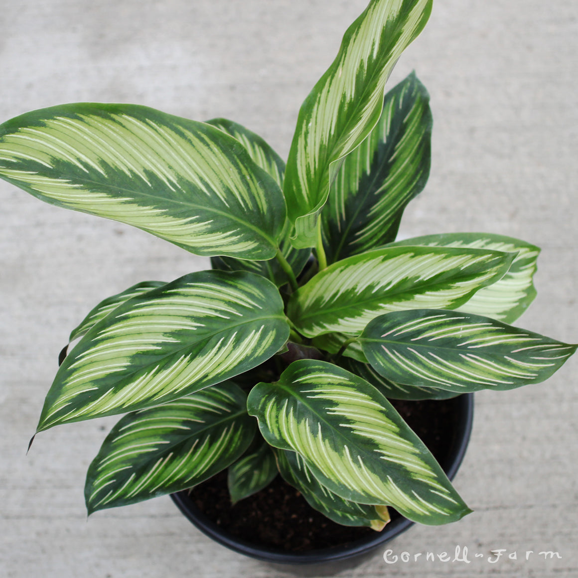 Calathea 'Beauty Star' 8""