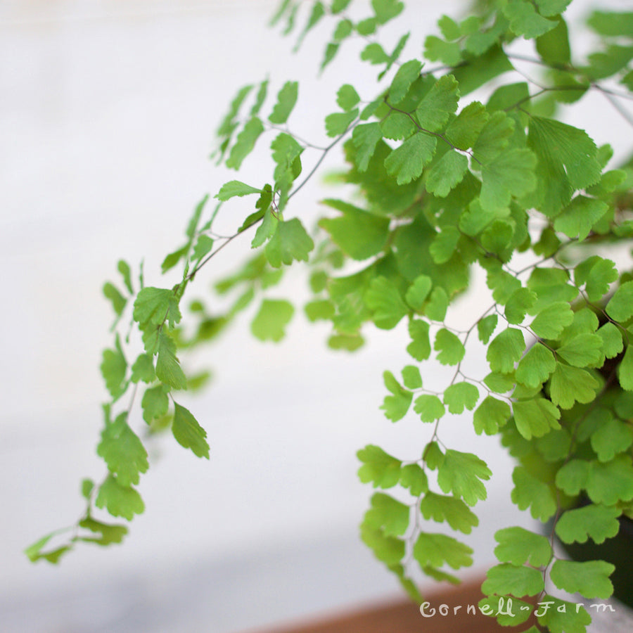 Adiantum sp. 'Maidenhair Fern' 4in