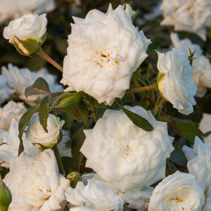 Rose 'Drift White'